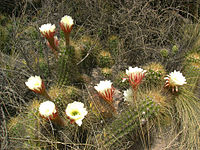 Echinopsis candicans (5)