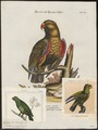 Eclectus polychlorus - 1700-1880 - Print - Iconographia Zoologica - Special Collections University of Amsterdam - UBA01 IZ18500257.tif