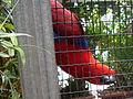 Eclectus roratus -Loro Parque -mobile phone-2005 (cropped).jpg