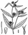 Eclipta prostrata-linedrawing1.png