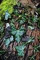 Efeu auf einem Baumstamm.jpg