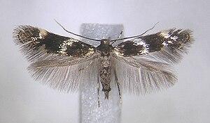 Elachista - Adult female Elachista apicipunctella specimen from Sonkajärvi (Finland)