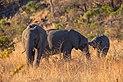 Elefantes africanos de sabana (Loxodonta africana), parque nacional Kruger, Sudáfrica, 2018-07-25, DD 04.jpg