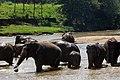 Elephant Bathing at Pinnawala Elephant Orphanage, 2015-04-04-2.jpg