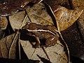 Eleutherodactylus intermedius01.jpg