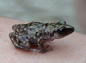 Eleutherodactylus - Cliff chirping frog, Eleutherodactylus marnockii