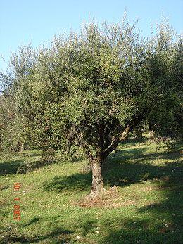 Δέντρο ελιάς