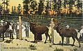 Elk at Woodland Park Zoo, 1911.jpg
