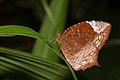 Elymnias caudata of Kadavoor.jpg