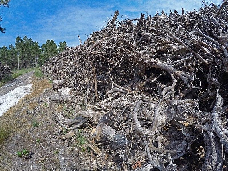 File:Empilement de souches de pins après désouchage d'une coupe rase 2018 Landes de Gascogne 14.jpg