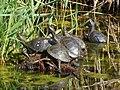 Emys orbicularis - Європейська болотяна черепаха - Европейская болотная черепаха.jpg