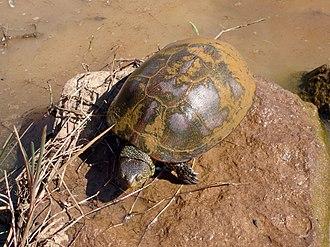 European pond turtle - In León, Spain