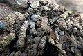 Encroutement algal ou bactérien sur restes de fil de pêche dans la Sèvre niortaise photo F Lamiot 04.jpg