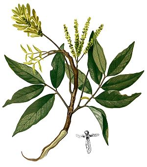 Engelhardia spicata, Illustration