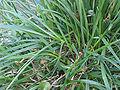 Engels raaigras spruiten (Lolium perenne tillers).jpg