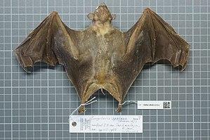 Cave nectar bat - Image: Eonycteris spelaea