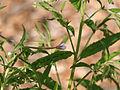 Epilobium ciliatum ssp ciliatum 9314.jpg