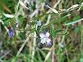 Epilobium tetragonum FlowersCloseup 13September2009 SierraMadrona.jpg
