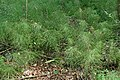Equisetum pratense kz03.jpg