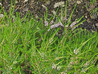 Erica vagans - The Cornish heath (Erica vagans)