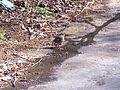 Erithacus rubecula 2012-2-19 Robledillo SierraMadrona.jpg