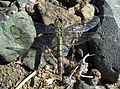 Erythemis collocata-Female-1.jpg