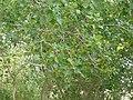 Estany de la Murtra P1480596.jpg
