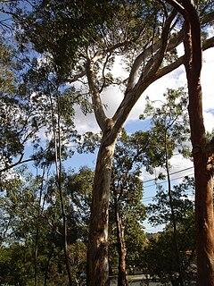 <i>Eucalyptus leucoxylon</i> Species of plant