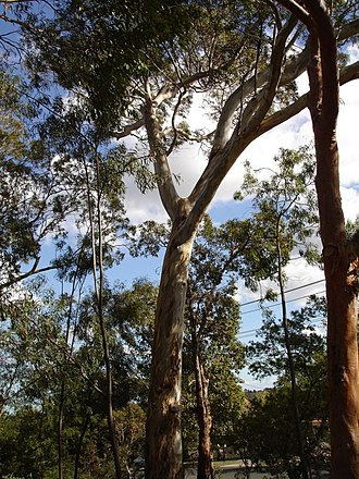 Eucalyptus leucoxylon - Eucalyptus leucoxylon, Melbourne