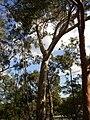 Eucalyptus leucoxylon.jpg