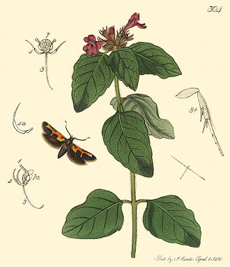 Kersal Moor - An engraving of the Manchester Tinea Euclemensia woodiella by John Curtis in British Entomology (1830)