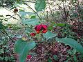 Euonymus americanus 5424017.jpg