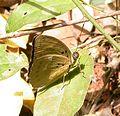 Euphaedra phaethusa Ahozon 2012-01-22 uns.jpg