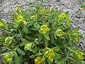 Euphorbia 2015-04-16 316.jpg