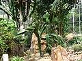 Euphorbia candelabrum.jpg