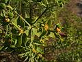 Euphorbia pithyusa 3 Sos Alinos 17072014 40.4322017, 9.7584315.jpg