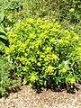 Euphorbia salicifolia1.JPG