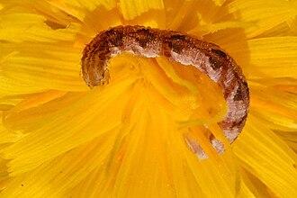 Eupithecia satyrata - Larva