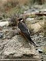 Eurasian Hobby (Falco subbuteo) (20608213586).jpg