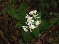 Eurybia divaricata SCA-04287.jpg