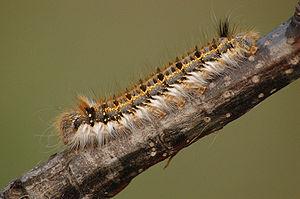 Caterpillar of Euthrix potatoria