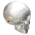 External occipital protuberance - posterior view2.png