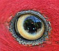 Eye of female Eclectus Parrot (cropped).jpg