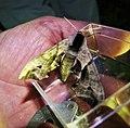 Eyed Hawkmoth, Smerinthus ocellata (48321692126).jpg