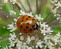 Eyed Ladybird. Anartis ocellata - Flickr - gailhampshire.jpg