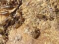 F-auricularia Kollenberg20080429 nymphs 899.jpg