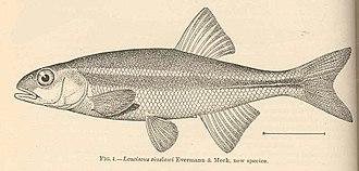 Redside shiner - Image: FMIB 39776 Leuciscus siuslawi Evermann & Meek, new species
