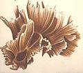 FMIB 53056 Tridacophyllia paeonia.jpeg