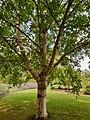 Fagales - Betula pubescens - 1.jpg