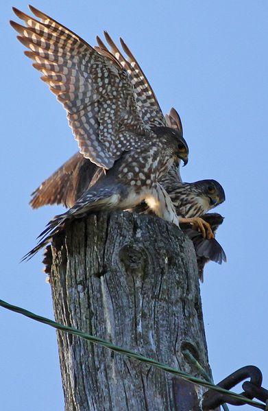 File:Falco columbarius pair Auburn NY 1.jpg